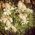 Silène Enflée, fleur des campagnes : son nom vient de Silène, père de Bacchus, Dieu du vin et de l'ivresse