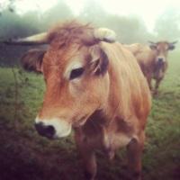 L'élevage de la race Parthenaise selon Anthony Écalle sur France 3 Poitou-Charentes